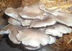 answer five questions related to increasing oyster mushrooms small2