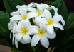 send you one white flower plumeria plant cutting