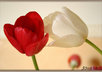 Tulips_in_love